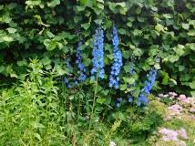 Bluebells at Dunrobin Castle