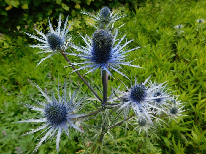 Thistles at Dunrobin Castle