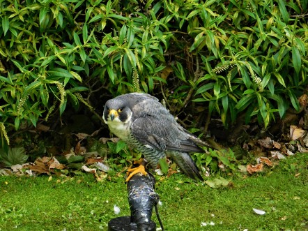 Falcon at Dunrobin Castle