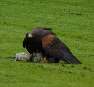 Falcon at Dunrobin Castle