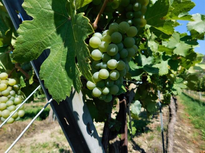 wachau grapes.JPG